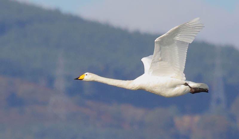 Image result for whooper swan flying